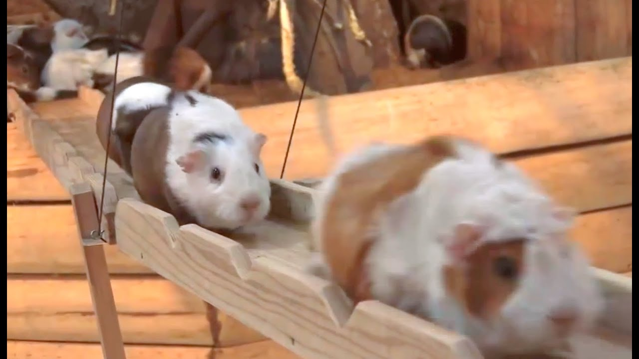 fbf17224 Guinea Pig Bridge at the Nagasaki Bio Park - song by Parry Gripp - YouTube