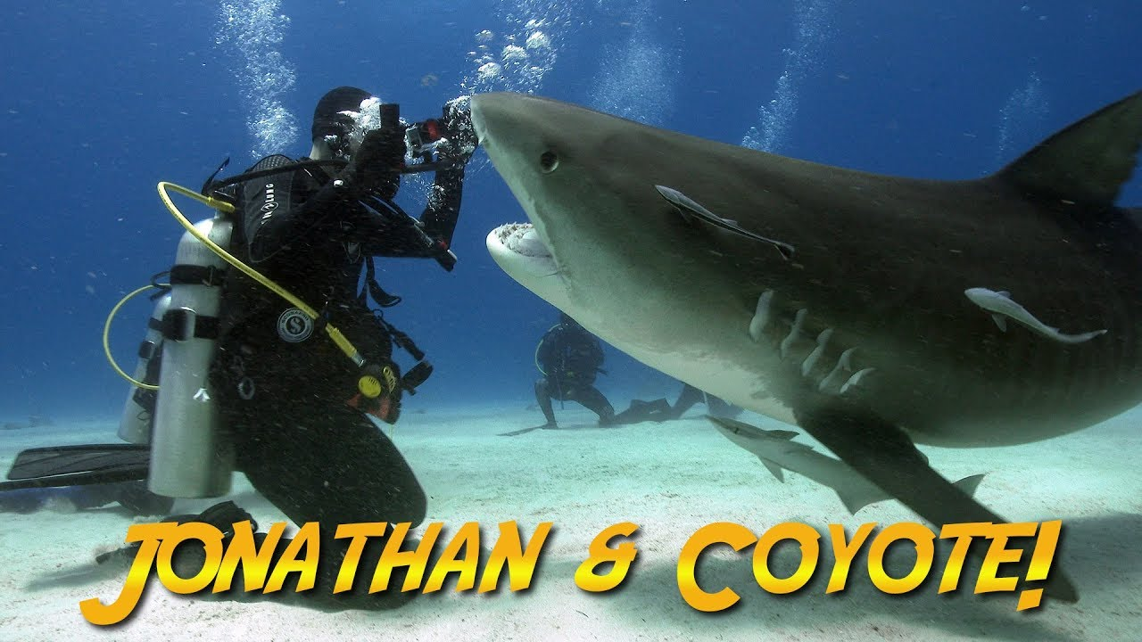 Tiger Sharks With Coyote Peterson Jonathan Bird S Blue