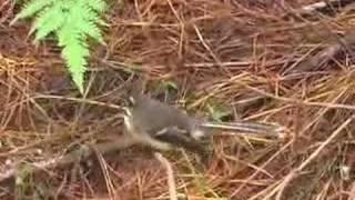 NZ Birds :: Fantail