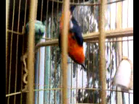 Kemade Ceri Burung Cabe My Name Is Elanor Youtube
