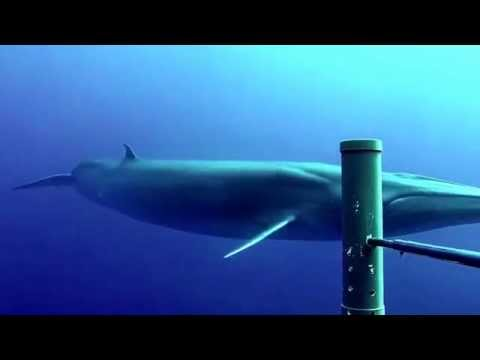 Brydes Whale