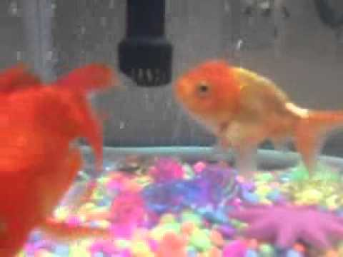 how to tell the sex of goldfish