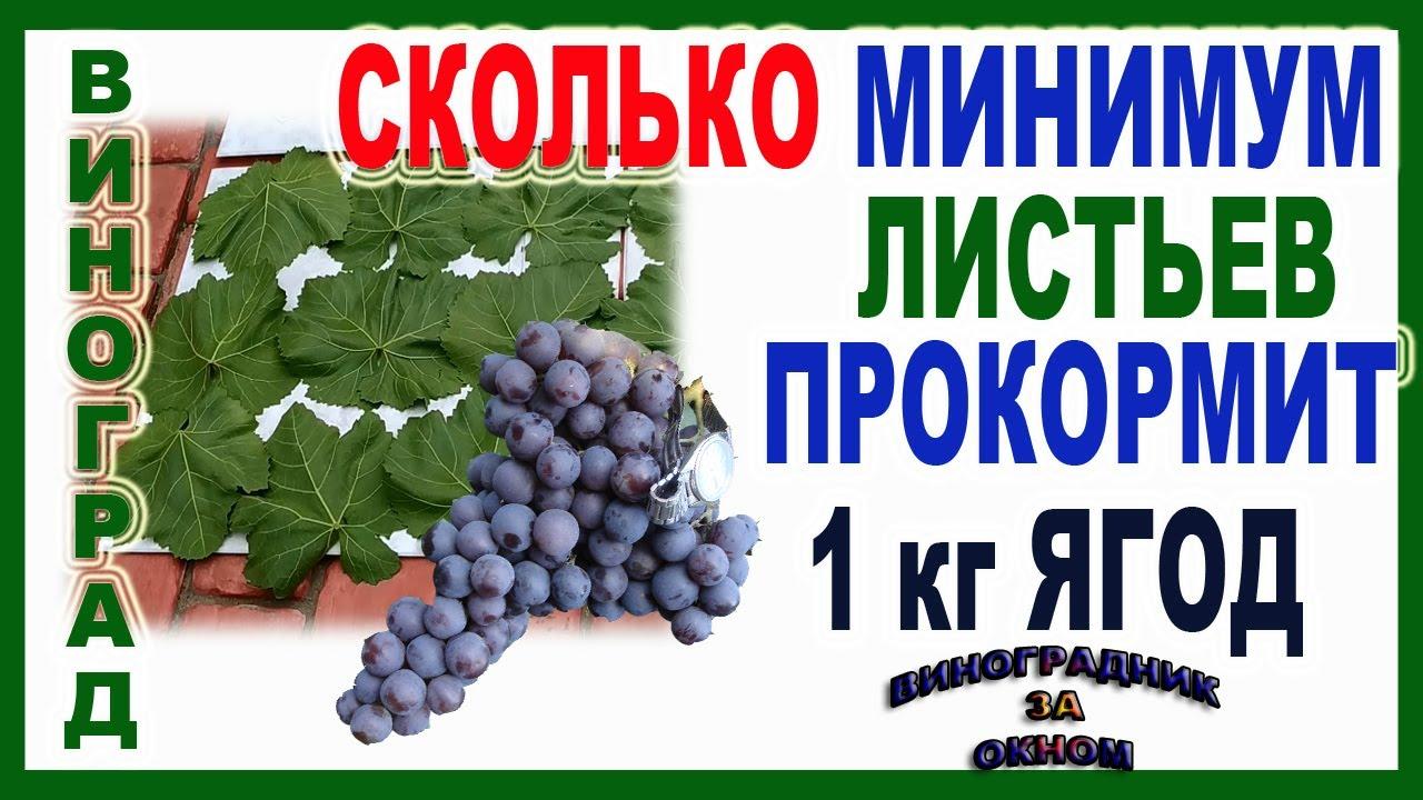 🍇 Сколько ЛИСТЬЕВ винограда ОСТАВЛЯЮТ на 1 кг ЯГОД? ПОНЯТНЕЕ не БЫВАЕТ! Листовая поверхность куста.
