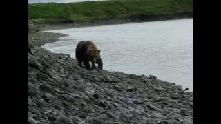 Bear encounter-McNeil River, AK