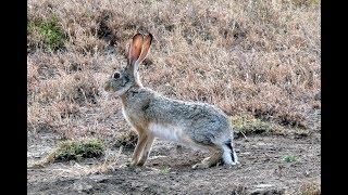 Охота на зайца с курцхааром сезон 2018