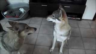 Hurlement en meute à la maison- Elevage des Loups d
