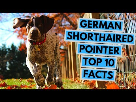 German Shorthaired Pointer - TOP 10 Interesting Facts