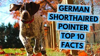 German Shorthaired Pointer  TOP 10 Interesting Facts
