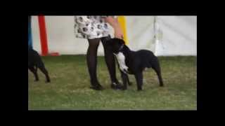 Staffordshire Bull Terriers (dogs) - Perth, Royal Show 2015