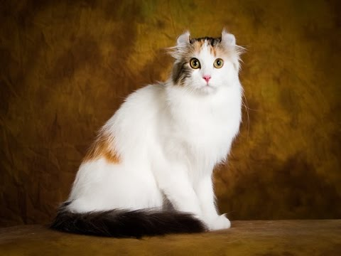 American Curl Cat Breed | American Curl Information, Temperament and Tips to Care