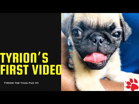 My Pug Tyrion's First Video | Cute & Adorable, Playful Tyrion | Tyrion - The Thug Pug #shorts