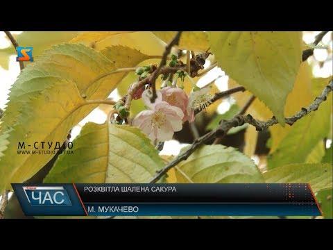 Телекомпанія М-студіо: Розквітла шалена сакура