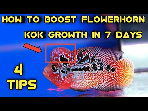 How To Boost Flowerhorn Kok /hump Growth In Just 7days | 4 Tips For Faster Growth Of Your Flowerhorn