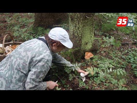 видео: «Советы грибоведа»: рвать или срезать и как узнать, какие грибы пошли?