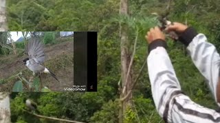 Pikat burung kutilang di pinggir hutan mantap