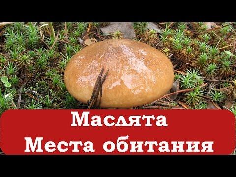 Как выглядит грибы маслята
