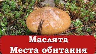 видео Описание гриба масленок