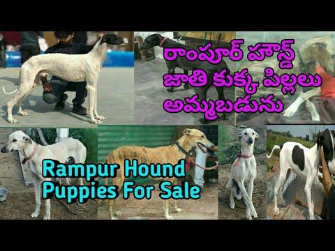 rampur-hound-puppies-for-sale,-రాంపూర్-హౌన్డ్-జాతి-కుక్క-పిల్లలు-అమ్మబడును