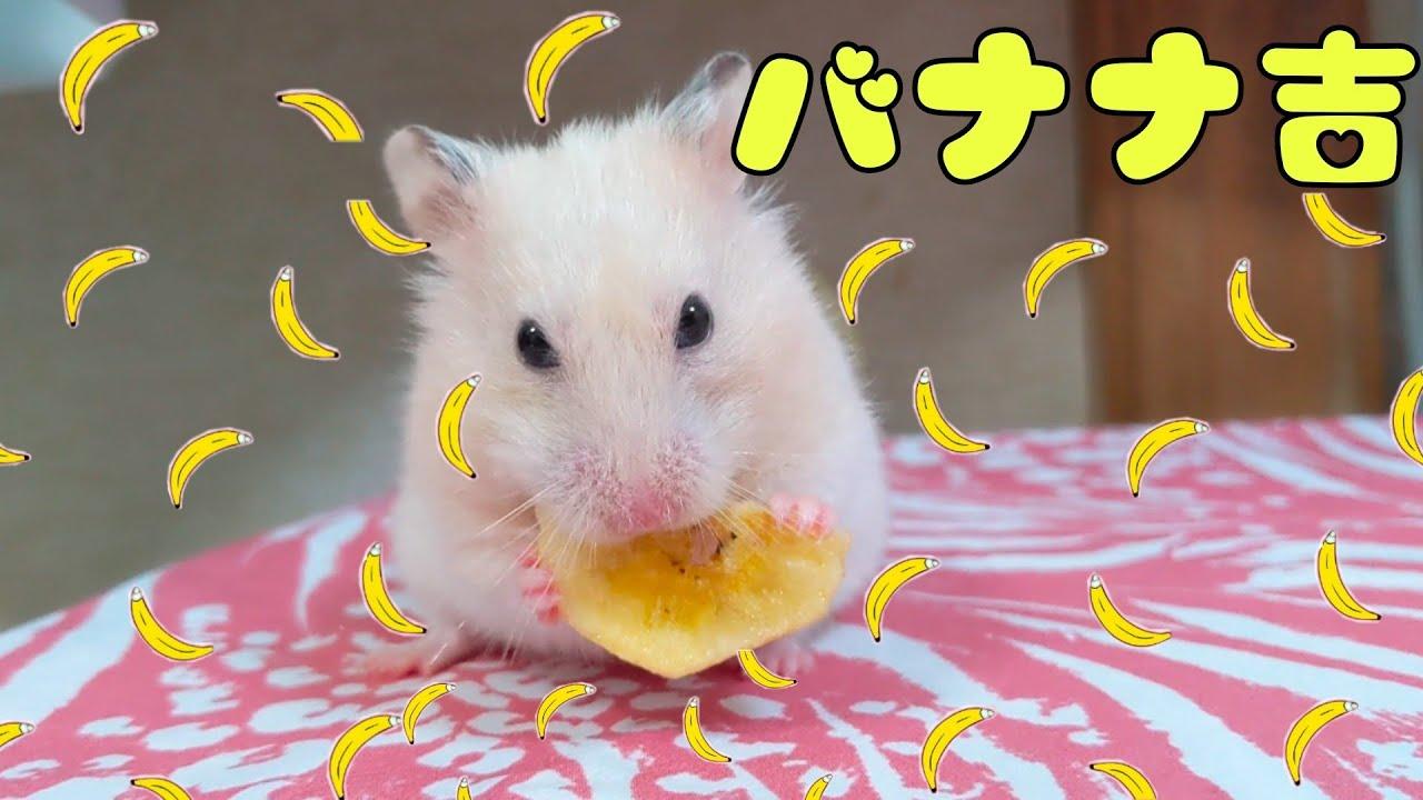 バナナを口いっぱいに頬張るハムスター