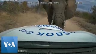 Dash Camera Video Shows Moment Elephant Charges at Pickup Truck