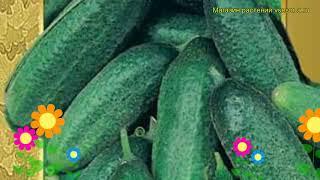Огурец гибридный Перента f1. Краткий обзор, описание характеристик, где купить семена Perenta f1
