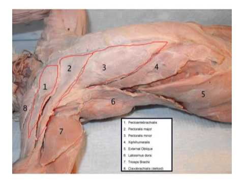 Cat Dissection Muscle Diagram Back Fujitsu Ten Radio Wiring Chest And Arm Muscles - Lepore Youtube