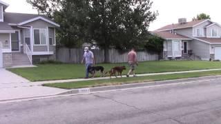 Nikita A German Shepherd After Dog Training