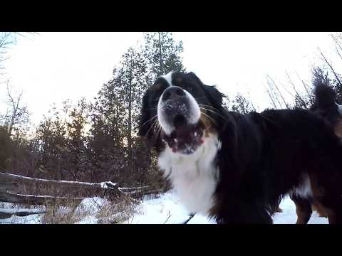 Bernese Mountain Dog Forest Hike