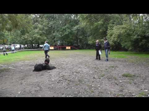 Русский чёрный терьер собака: фото, купить, видео, цена