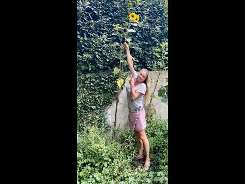 Uitslag zonnebloemen wedstrijd