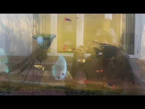 Nuôi một hồ cá dĩa trong nhà để chơi. Và những chi tiết cần lưu ý