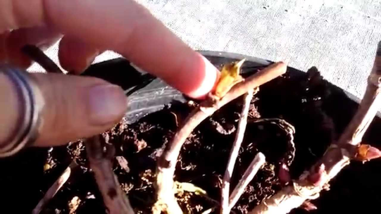 Como podar hortensias youtube - Poda de hortensias epoca ...