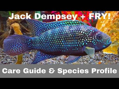 JACK DEMPSEY - Care Guide (PLUS FRY!)