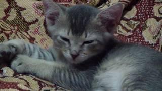 Абиссинская Кошка (Взяли котёночка)