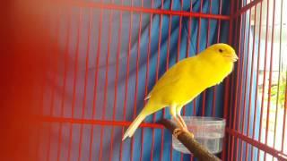 Video CANARY BIRD: Kenari f1 prestasi (GINGER) download MP3, 3GP, MP4, WEBM, AVI, FLV Juni 2018