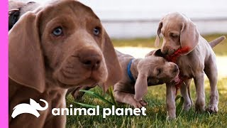 Weimaraner Puppies Get Ready To Celebrate Their First Christmas! | Too Cute!