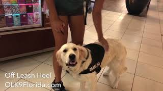 "1 1/2 yr old Golden Retriever ""Luna""  