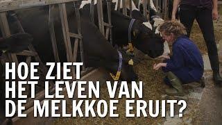 Hoe ziet het leven van de melkkoe eruit?   De Buitendienst over Koeien