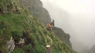 Wild Swiss Alps Goat Screaming