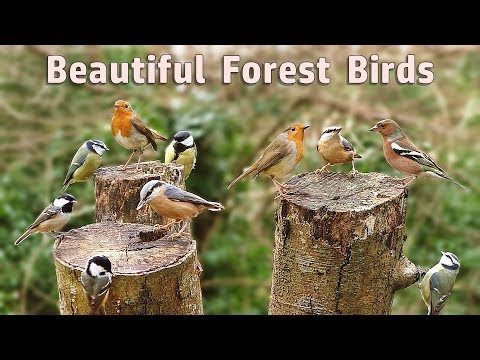 Videos for Cats : Beautiful Forest Birds