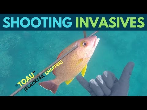 Spearfishing Hawaii: Invasive Fish(Toau) Catch And Cook!!