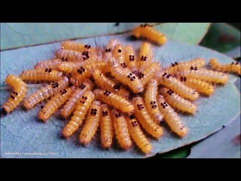 Larva Ulat Bulu