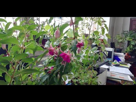 Фуксия цветёт через 3 месяца после посадки