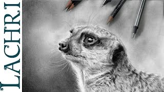 how to draw a meerkat in graphite w/ Lachri