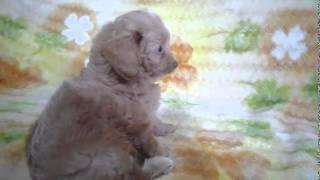 子犬のブリーダー直販支援サイト「子犬の窓口」 齊藤ブリーダーのミック...
