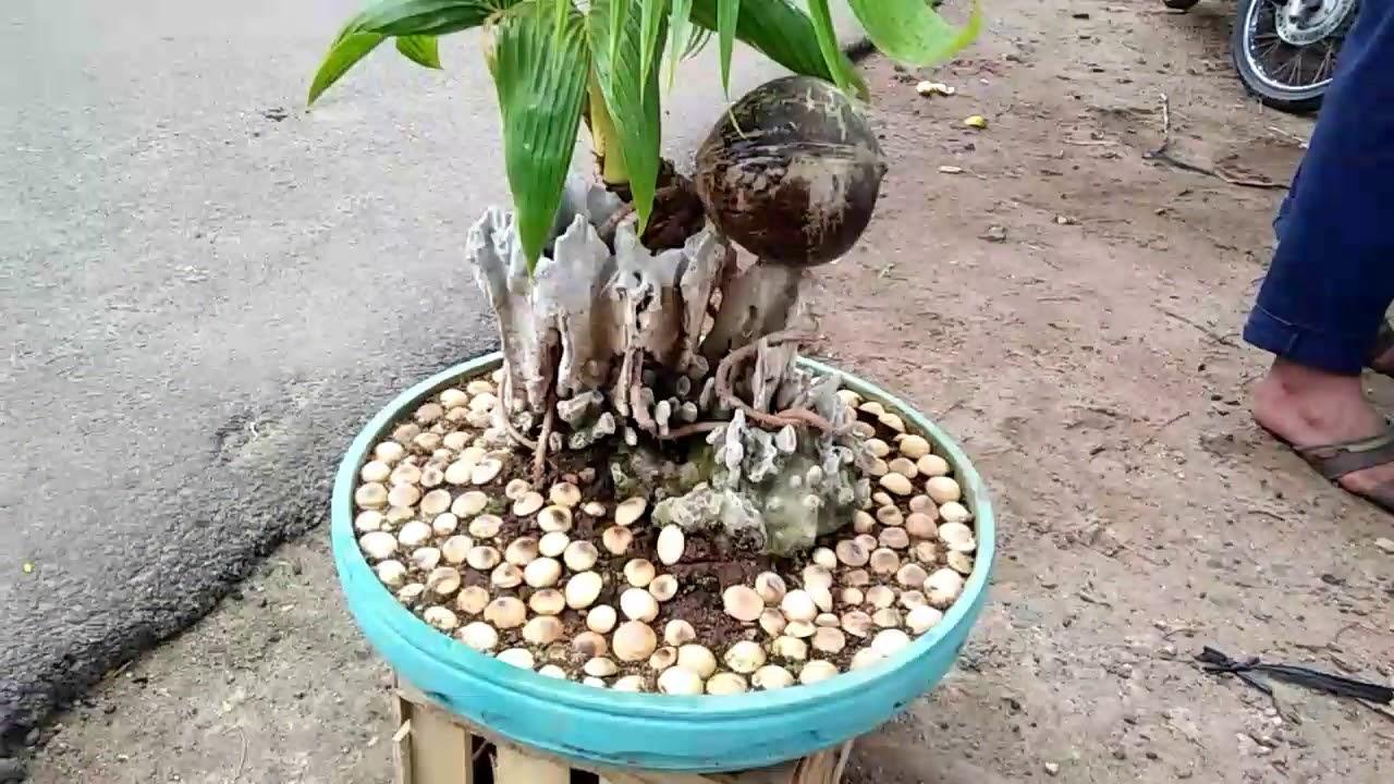 Bonsai Kelapa Gading Batok Mini Anti Pecah Batok By Dek Dwi Payadnya