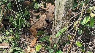 Rescue Poor Dog Crying Was Trapped In Steel Wire by Wildlife Hunters