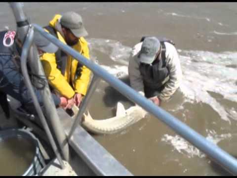 U.S. Fish and Wildlife Service crews net pallid sturgeon