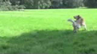森の中の草原でフリスビー。ゴールデンリトリバーの虎之介の楽しみです。