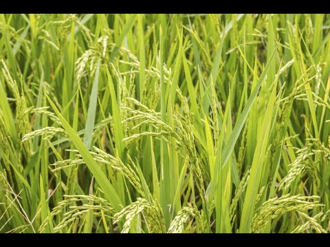 28 08 2013 live phone in on cultivation of paddy in sri method dr n nagaraja and dr b narayanaswamy